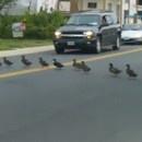 miniature pour 55 canards qui traversent la route