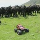vaches-courir-voiture-radio-commande