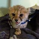 miniature pour Un bébé guépard qui miaule