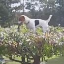miniature pour Un chien monte sur un petit arbre
