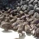 comment-nourir-100-singes