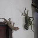gecko-sauve-pote-serpent