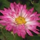 vie-fleurs