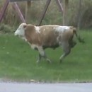 miniature pour Attention, vache enragée