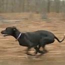 Un chien qui court à 48km/h