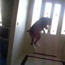 miniature pour Un chien boxer très excité de sortir