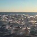 miniature pour Banc de dauphins à Dana Point