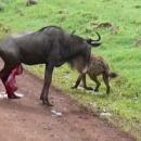 miniature pour Une gnou enceinte attaquée par 2 hyènes