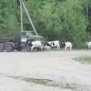 camion-ecrase-troupeau-vaches