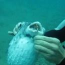 miniature pour Un plongeur sauve un poisson d'un hameçon