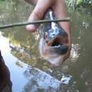 miniature pour Le piranha ciseaux