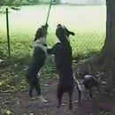 trois-chiens-mordent-une-meme-corde