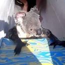 miniature pour Un koala qui détourne un kayak