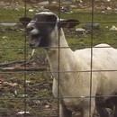 mouton-qui-crie