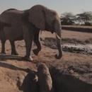 miniature pour Sauvetage d'un éléphanteau coincé dans un trou
