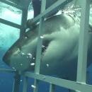 plongeur-cage-requin-blanc