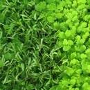 mimosa-pudique-plante-sensitive