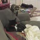 un-raton-laveur-empaille-fait-peur-a-un-chat