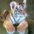 un-bebe-tigre-joue-sur-le-canape