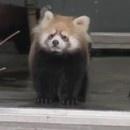 panda-roux-surpris