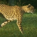 miniature pour Course d'un guépard au ralenti