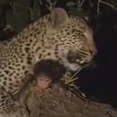 miniature pour Un léopard tue un singe et protège son enfant