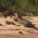 jaguar-tue-capybara