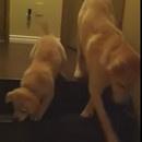 miniature pour Une chienne montre à son chiot comment descendre les escaliers