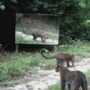 leopards-sauvages-vs-miroir-en-foret