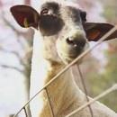 miniature pour Compilation de chèvres qui crient comme des humains