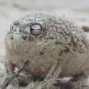 grenouille-baudruche-pousse-cris