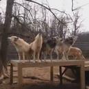 groupe-de-loups-qui-hurlent-sanctuaire