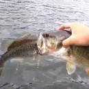 miniature pour Un poisson coincé dans la bouche