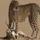 guepard-domestique-chasse-gazelle-desert