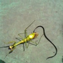mante-religieuse-ver-nematomorphe
