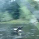 miniature pour Un aigle royal lui vole son poisson