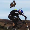 gee-atherton-poursuivi-faucon-pelerin