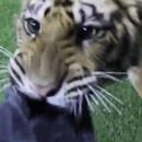 tigre-qui-aime-jouer
