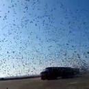 lacher-25382-pigeons-voyageurs
