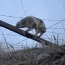 miniature pour Un homme sauve un coyote coincé dans les barbelés