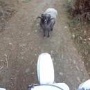 miniature pour Un mouton barre la route à une moto