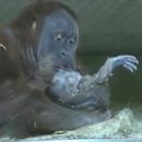 miniature pour Première capture vidéo d'un orang-outan qui accouche