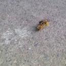 guepe-coupe-abeille-en-2