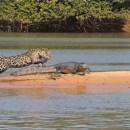 miniature pour Jaguar attaque un caiman