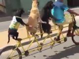 Un homme fait du vélo tandem avec ses chiens