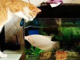 Un poisson qui ne veut pas qu'un chat boive l'eau de son aquarium