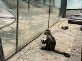 Un singe capucin cogne une pierre sur une vitre