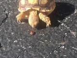 Une tortue qui court derrière une coccinelle